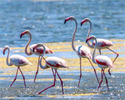 Flamants roses - Salins d'Aigues Mortes